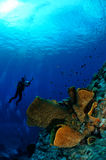 Taucher und Fass waschen Verongula-gigantea in Banda, Indonesien-Unterwasserfoto ab Stockfoto