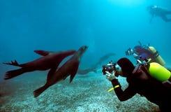 Taucher und Galapagos-Seelöwen Stockbilder