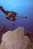 Taucher und purpurrotes Seegebläse Lizenzfreies Stockfoto