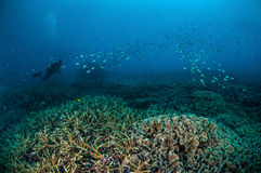 Taucher und Schulungsfische über den Korallenriffen in Gili, Lombok, Nusa Tenggara Barat, Indonesien-Unterwasserfoto Stockfoto