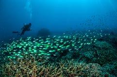 Taucher und Schulungsfische über den Korallenriffen in Gili, Lombok, Nusa Tenggara Barat, Indonesien-Unterwasserfoto Stockfotografie