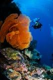 Taucher und Seefächer Melithaea in Banda, Indonesien-Unterwasserfoto Stockfotos