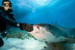 Taucher und Tigerhai Stockfotografie