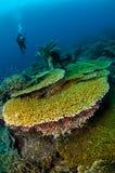 Taucher und verschiedene harte Korallenriffe in Banda, Indonesien-Unterwasserfoto Stockfotografie
