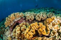 Taucher und verschiedene weiche Koralle, lederne Koralle des Pilzes in Banda, Indonesien-Unterwasserfoto Stockbild