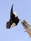 Tauchweißkopfseeadler lizenzfreie stockfotografie