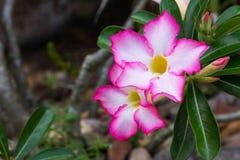 Taunasse weiße gelbe rosa Adeniumblume mit Blättern Lizenzfreie Stockbilder