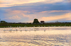 Intermediate egrets at Taungthaman Lake and u-Bein bridge Royalty Free Stock Images