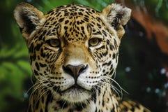 Taunting Jaguar 3 Fotografía de archivo