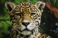 Taunting the Jaguar 3. A detailed shot of a jaguar head Stock Photography