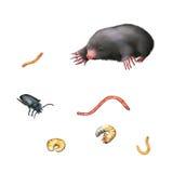 Taupe européenne, scarabée noir, larves, vers Images stock