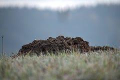 Taupinière la taupe de jardin Taupinière sur l'horizon des prés givrés photos stock