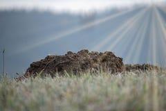 Taupinière la taupe de jardin Taupinière sur l'horizon des prés givrés Rayons de Sun photo libre de droits
