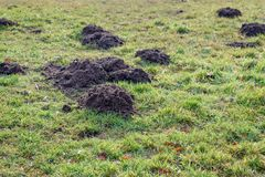 Taupinières fraîches dans l'herbe couverte de rosée de la fin image libre de droits