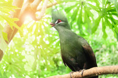 Tauraco persa. Guinea Turaco Royalty Free Stock Photography