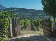 Taurasi. Vigne in a summer Sunday. Royalty Free Stock Photo