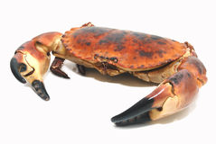Taurean crab Royalty Free Stock Photography