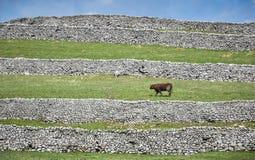 Taureau à cornes court et murs de pierres sèches Photos stock