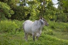 taureau Photo libre de droits
