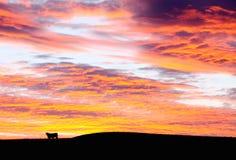 Taureau au coucher du soleil Photographie stock