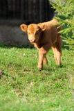 Taureau, bétail des montagnes écossais images libres de droits