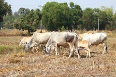 Taureau blanc Image libre de droits