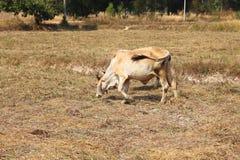 Taureau blanc Images libres de droits