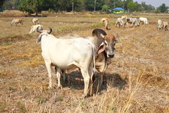 Taureau blanc Images stock