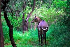 Taureau bleu dans la forêt de repaires Image libre de droits