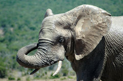 Taureau d'éléphant photographie stock