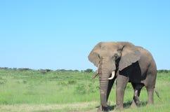 Taureau d'éléphant Images libres de droits