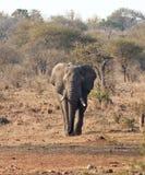 Taureau d'éléphant avec la grande approche de défenses Image stock