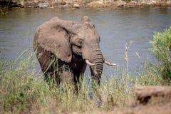Taureau d'éléphant marchant vers l'appareil-photo photos libres de droits