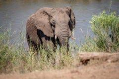 Taureau d'éléphant marchant vers l'appareil-photo image stock