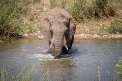Taureau d'éléphant traversant une rivière image stock