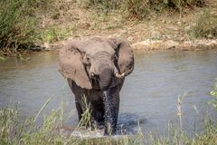 Taureau d'éléphant traversant une rivière photo libre de droits