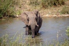 Taureau d'éléphant traversant une rivière photo stock