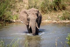 Taureau d'éléphant traversant une rivière photographie stock