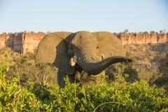Taureau d'éléphant africain par des falaises de Chilojo Image libre de droits