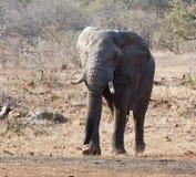 Taureau d'éléphant avec la grande approche de défenses Photos libres de droits