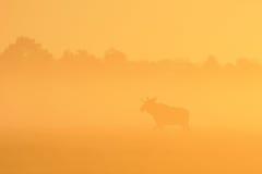 Taureau d'orignaux dans le lever de soleil Photos stock