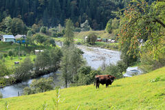 Taureau dans le pré au-dessus de la rivière Photo libre de droits