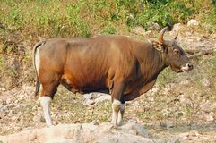 Taureau de Banteng Photos libres de droits