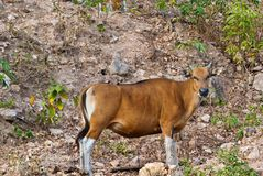 Taureau de Banteng Image stock