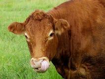 Taureau de Bos de bétail Image libre de droits