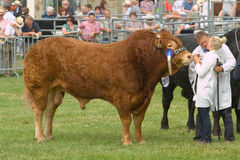 Taureau de gain du Limousin au Salon Agricole Royal du Pays de Galles Photographie stock