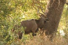 Taureau de Kudu à côté d'un arbre images stock