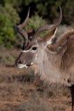 Taureau de Kudu Photo libre de droits