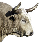Taureau de longhorn du Texas d'isolement sur le fond blanc photo stock