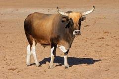 Taureau de Sanga Images libres de droits